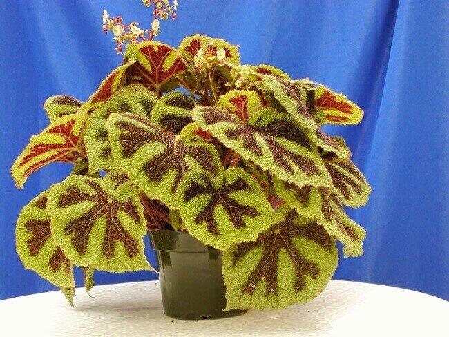 http://florainhouse.ru/wp-content/uploads/2015/11/Begonia-masoniana01.jpg